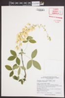 Laburnum x watereri image
