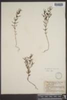 Agalinis neoscotica image