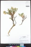 Ericameria bloomeri image