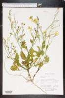 Brassica juncea image
