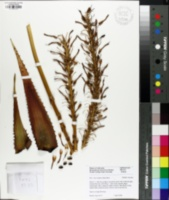 Image of Aloe microstigma