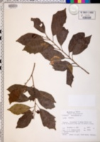Image of Allophylus zeylanicus