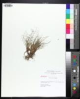 Eragrostis frankii image