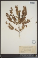 Image of Amorpha floridana