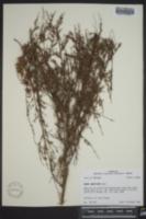 Oenothera filiformis image