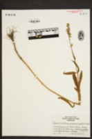Physostegia purpurea image