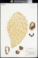 Opuntia discata image