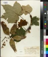 Image of Sterculia platanifolia