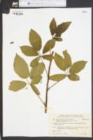 Image of Rubus monongaliensis