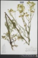 Hymenopappus scabiosaeus image