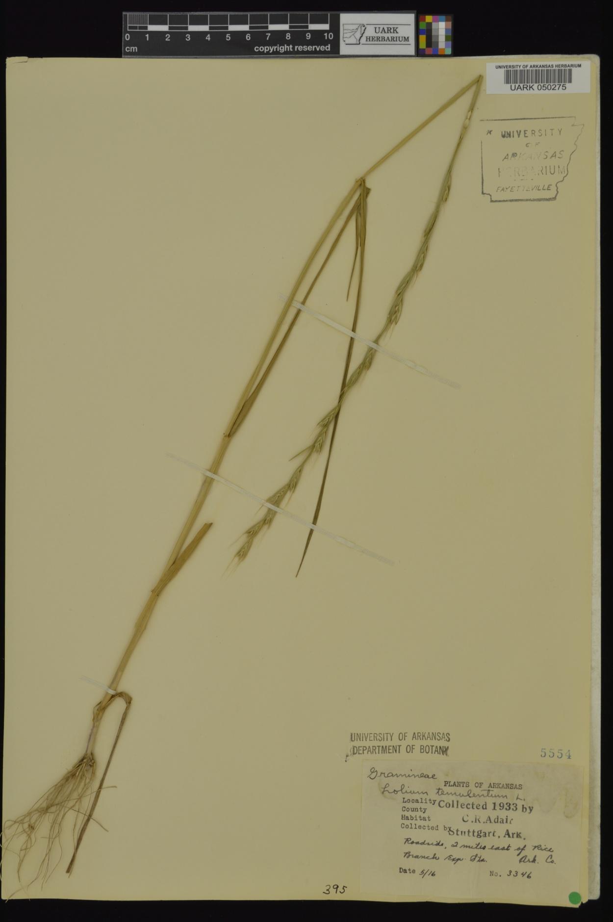 Lolium temulentum subsp. temulentum image