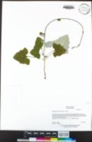 Adenocaulon bicolor image