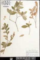 Cliftonia monophylla image
