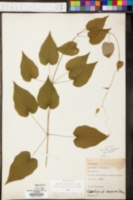 Dioscorea villosa image