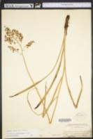 Image of Zigadenus leimanthoides