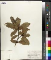 Image of Quercus centralis