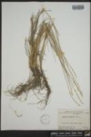 Elymus macrourus image