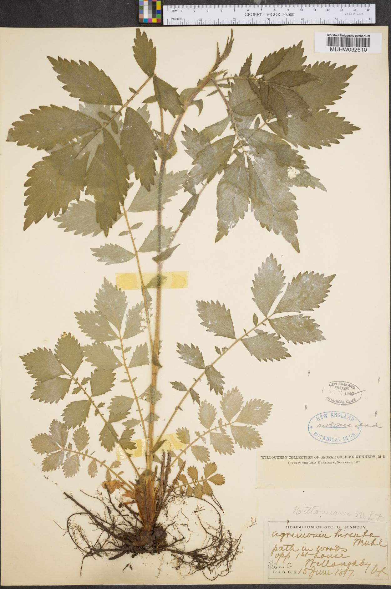 Agrimonia hirsuta image