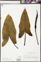 Peltandra sagittifolia image