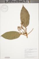 Image of Oreopanax oerstedianus