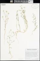 Cryptantha pterocarya var. pterocarya image
