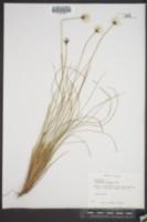 Image of Eriophorum spissum