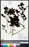 Image of Ampelocera ruizii