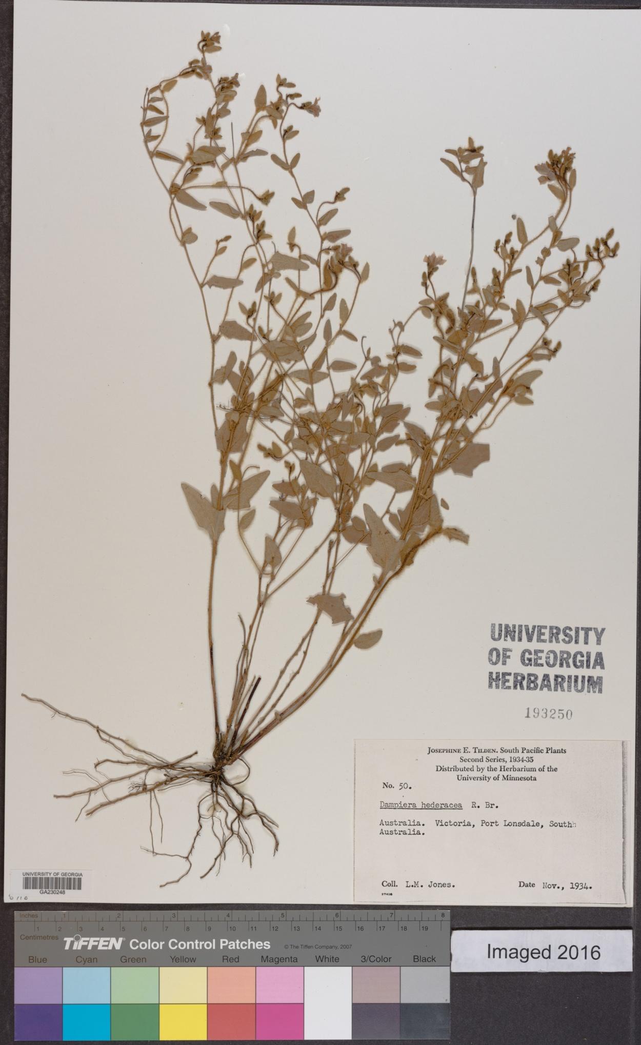 Dampiera hederacea image