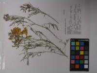 Astragalus whitneyi image