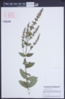 Image of Nepeta latifolia