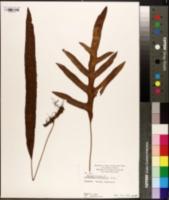 Image of Phymatosorus diversifolius