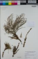 Equisetum arvense image