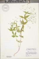 Galium latifolium image