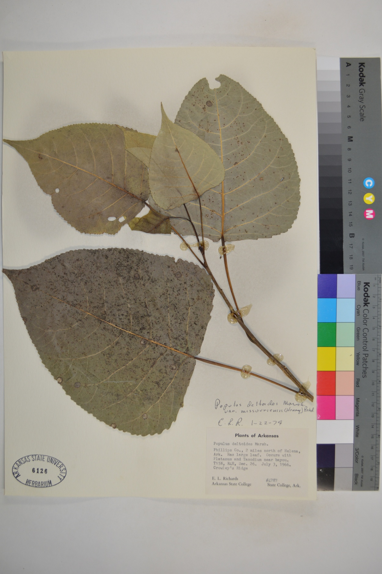 Populus deltoides var. missouriensis image