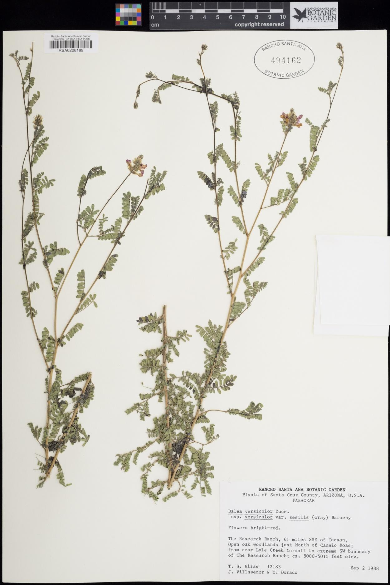 Dalea versicolor subsp. versicolor image