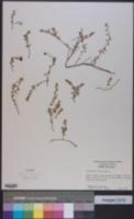 Vaccinium oxycoccos image
