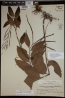 Aglaomorpha speciosa image