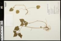 Viola pubescens var. scabriuscula image