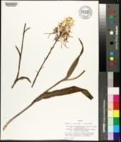 Platanthera blephariglottis var. blephariglottis image