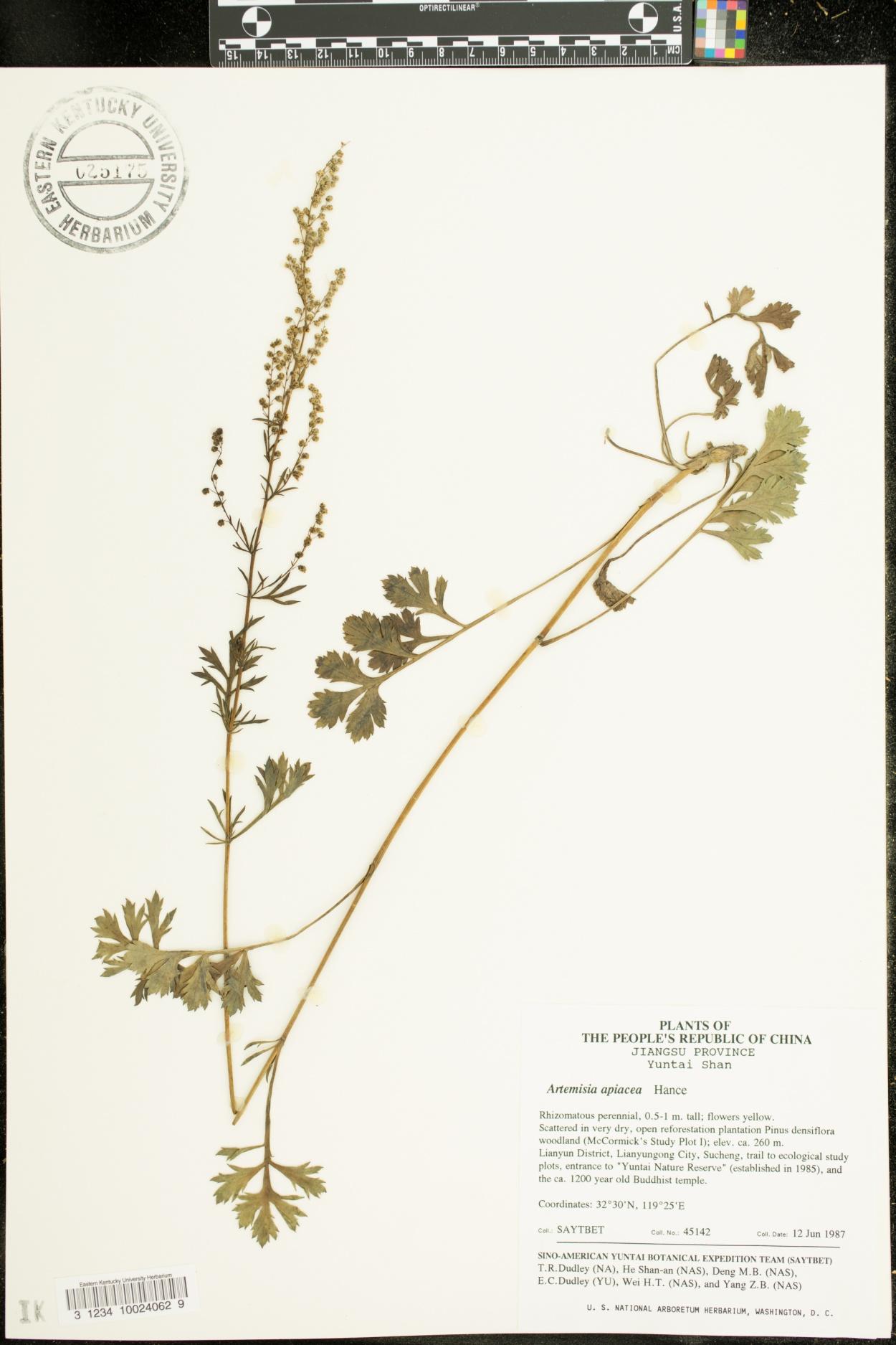 Artemisia carvifolia image