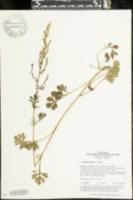 Image of Artemisia carvifolia
