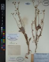 Eriogonum truncatum image