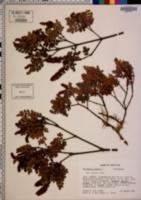 Weinmannia pinnata image