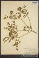 Buckleya distichophylla image