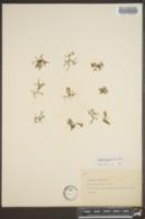 Houstonia pygmaea image