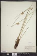 Juncus effusus var. decipiens image
