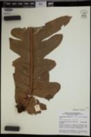 Aglaomorpha splendens image