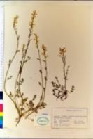 Corydalis campestris image