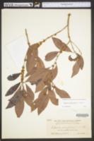 Sideroxylon salicifolium image