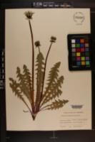 Image of Taraxacum angustisquameum